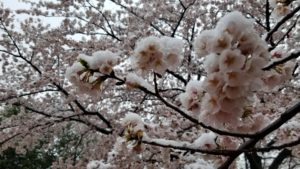桜と雪201904