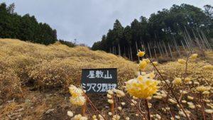 屋敷山ミツマタ2021(1)